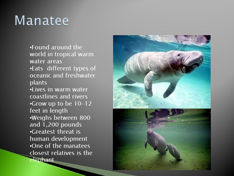 Found around the world in tropical warm water areas Eats different types of oceanic and freshwater plants Lives in warm water coastlines and rivers Grow up to be 10-12 feet in length Weighs between 800 and 1,200 pounds Greatest threat is human development One of the manatees closest relatives is the elephant