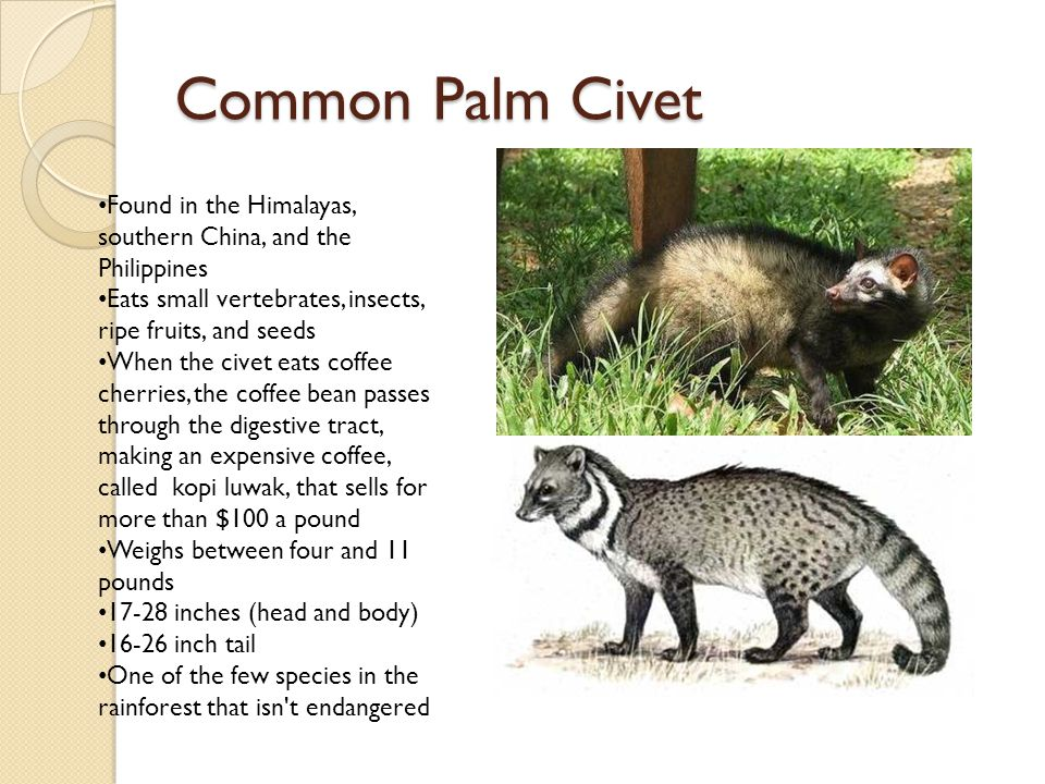 Common Palm Civet Found in the Himalayas, southern China, and the Philippines Eats small vertebrates, insects, ripe fruits, and seeds When the civet eats coffee cherries, the coffee bean passes through the digestive tract, making an expensive coffee, called kopi luwak, that sells for more than $100 a pound Weighs between four and 11 pounds 17-28 inches (head and body) 16-26 inch tail One of the few species in the rainforest that isn t endangered