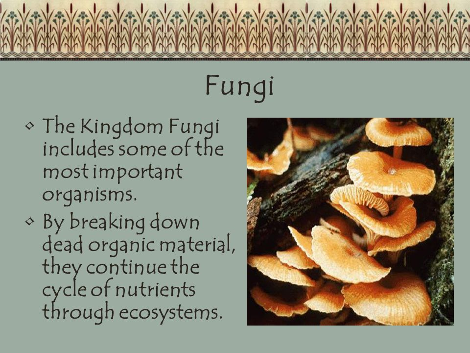 Fungi The Kingdom Fungi includes some of the most important organisms.