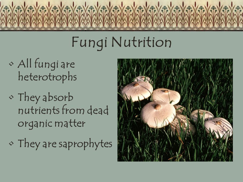 Fungi Nutrition All fungi are heterotrophs They absorb nutrients from dead organic matter They are saprophytes