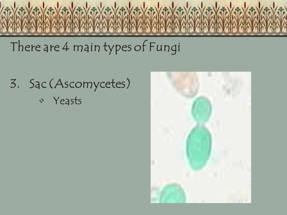 There are 4 main types of Fungi 3.Sac (Ascomycetes) Yeasts