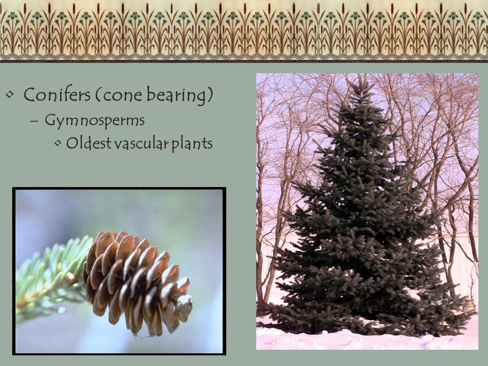 Conifers (cone bearing) –Gymnosperms Oldest vascular plants