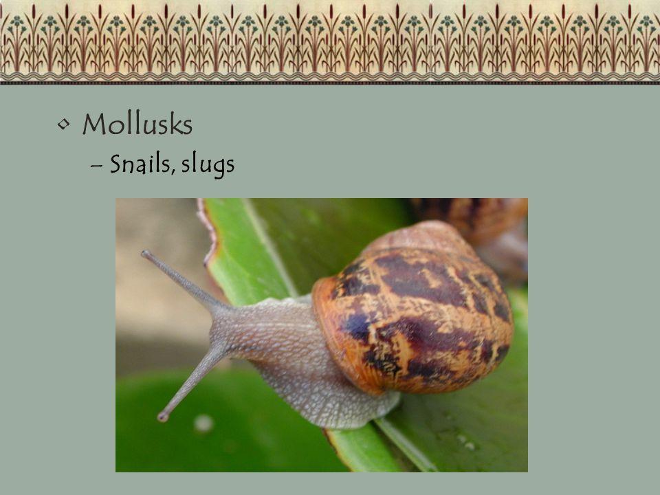 Mollusks –Snails, slugs