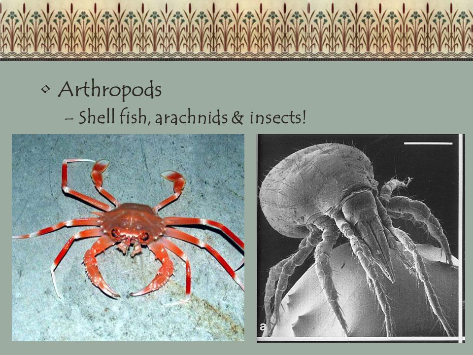 Arthropods –Shell fish, arachnids & insects!