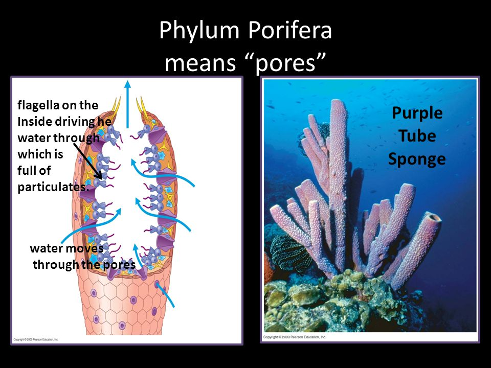 """Phylum Porifera means """"pores"""" water moves through the pores flagella on the Inside driving he water through which is full of particulates. Purple Tube"""