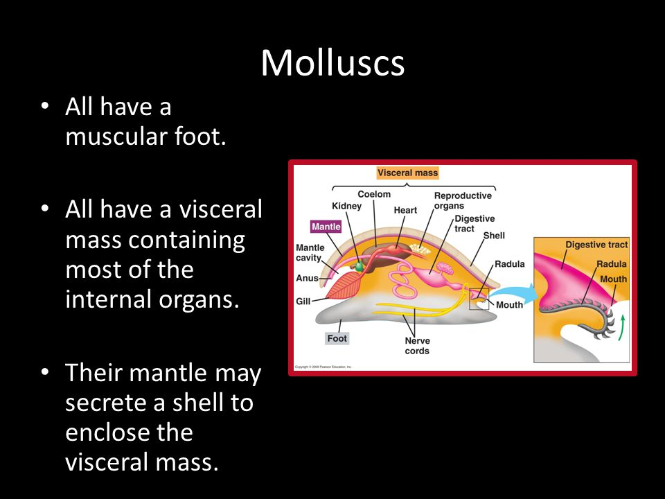 Molluscs All have a muscular foot. All have a visceral mass containing most of the internal organs.