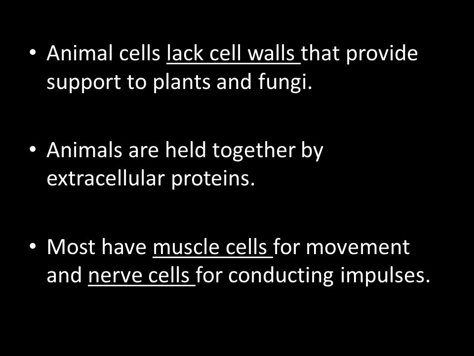 Animal cells lack cell walls that provide support to plants and fungi. Animals are held together by extracellular proteins. Most have muscle cells for