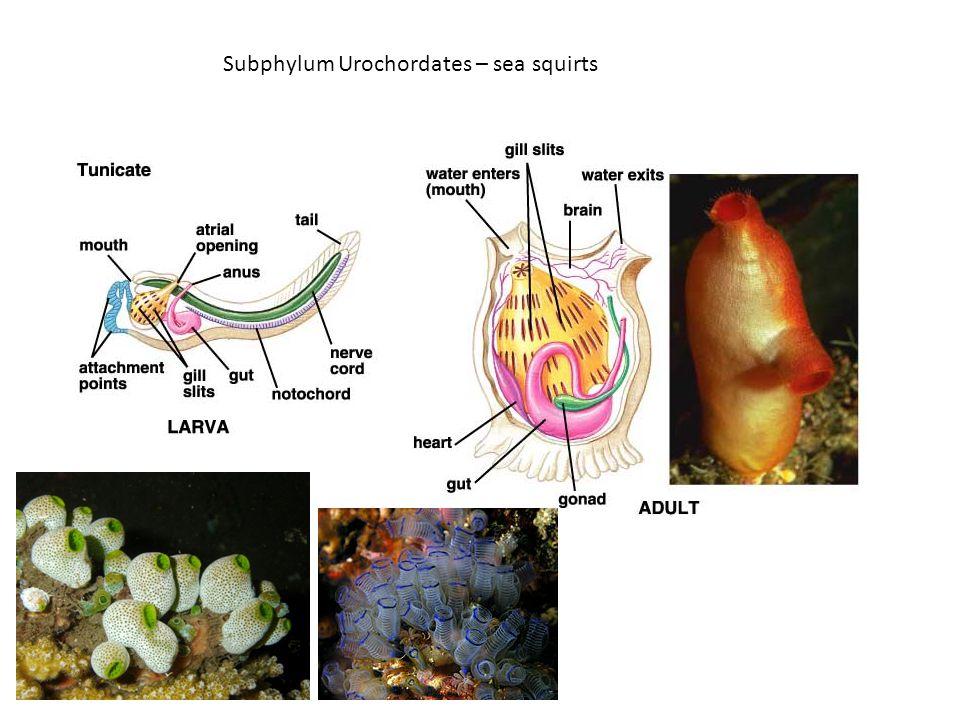 Subphylum Urochordates – sea squirts