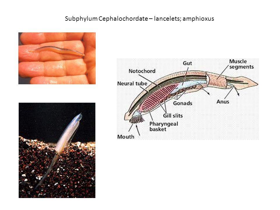 Subphylum Cephalochordate – lancelets; amphioxus
