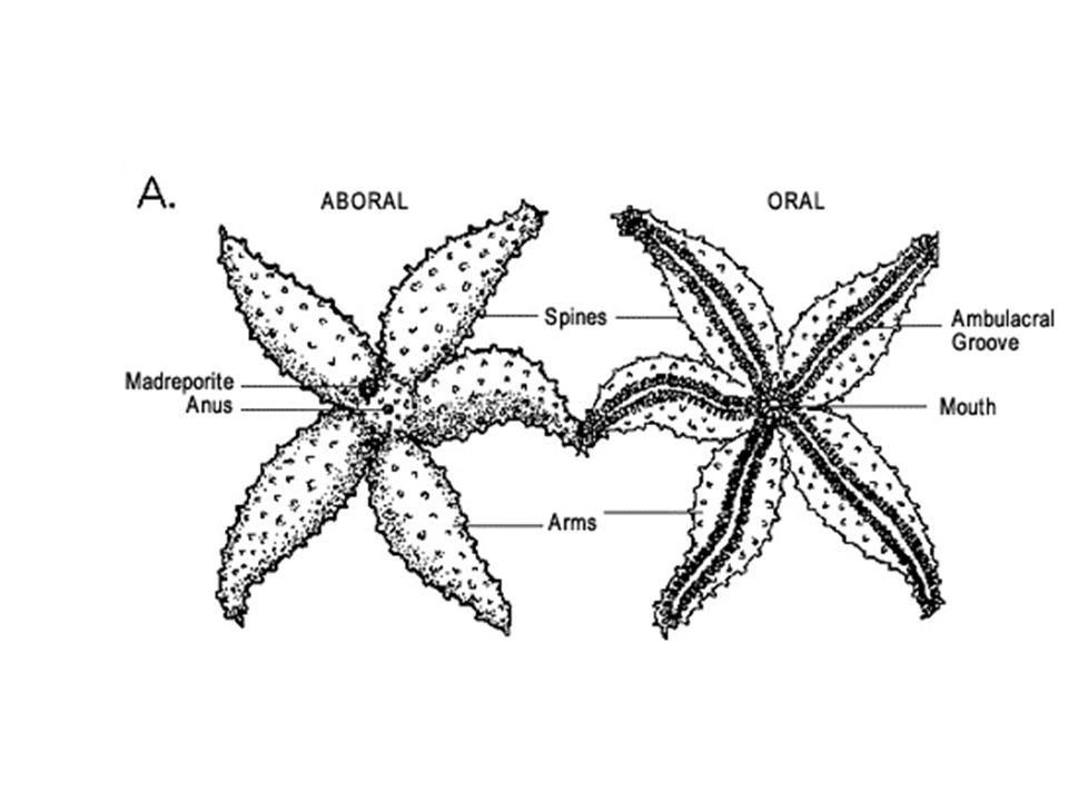 Urochordate larva cephalochordate Drepanaspis – bony skull Jawless fish Cartilaginous fish Lung fish Bony fish