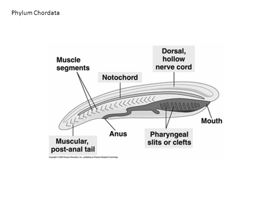 Pharyngeal gill slits Dorsal hollow nerve cord Notochord Muscular, post-anal tail Adult Larva (b) Urochordates (a) Cephalochordates (c) Vertebrates Water flow Cross section of embryo Embryo Pharyngeal pouches become gill slits in aquatic vertebrates Phylum Chordata