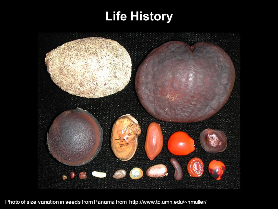 Life History Photo of size variation in seeds from Panama from http://www.tc.umn.edu/~hmuller/