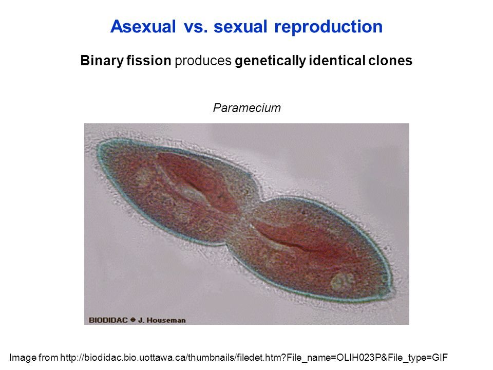 Binary fission produces genetically identical clones Asexual vs.