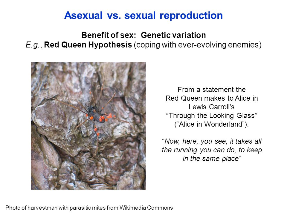 Benefit of sex: Genetic variation E.g., Red Queen Hypothesis (coping with ever-evolving enemies) Asexual vs.
