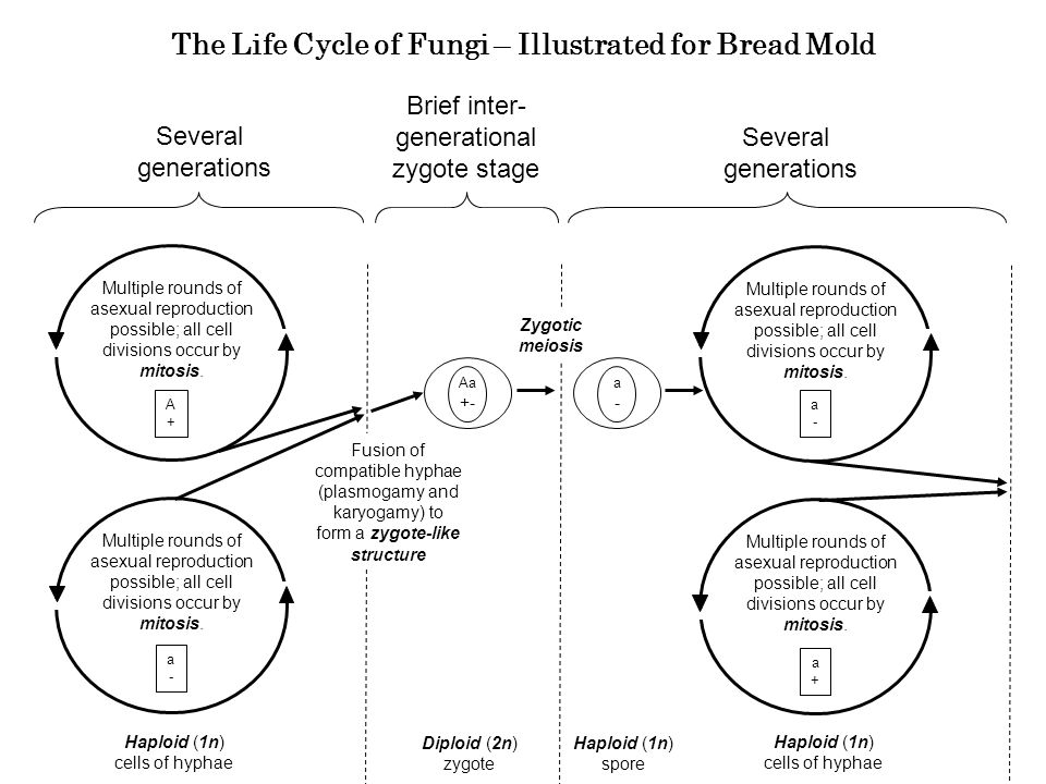 The Life Cycle of Fungi – Illustrated for Bread Mold Several generations Diploid (2n) zygote Several generations Haploid (1n) cells of hyphae Multiple rounds of asexual reproduction possible; all cell divisions occur by mitosis.