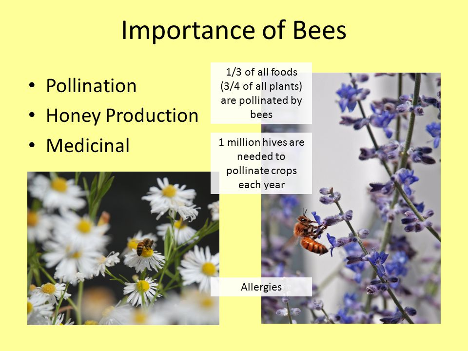 Importance of Bees Pollination Honey Production Medicinal Allergies 1 million hives are needed to pollinate crops each year 1/3 of all foods (3/4 of all plants) are pollinated by bees