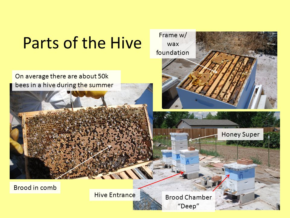 Parts of the Hive On average there are about 50k bees in a hive during the summer Honey Super Frame w/ wax foundation Brood in comb Brood Chamber Deep Hive Entrance