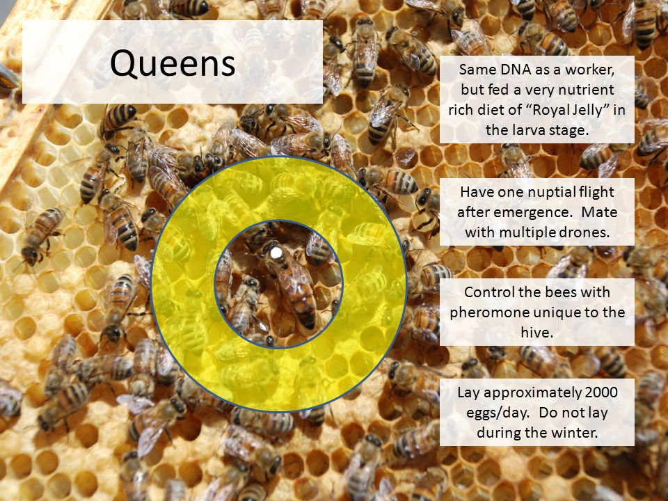 Queens Same DNA as a worker, but fed a very nutrient rich diet of Royal Jelly in the larva stage.
