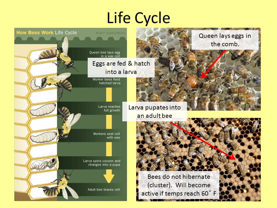 Life Cycle Bees do not hibernate (cluster).