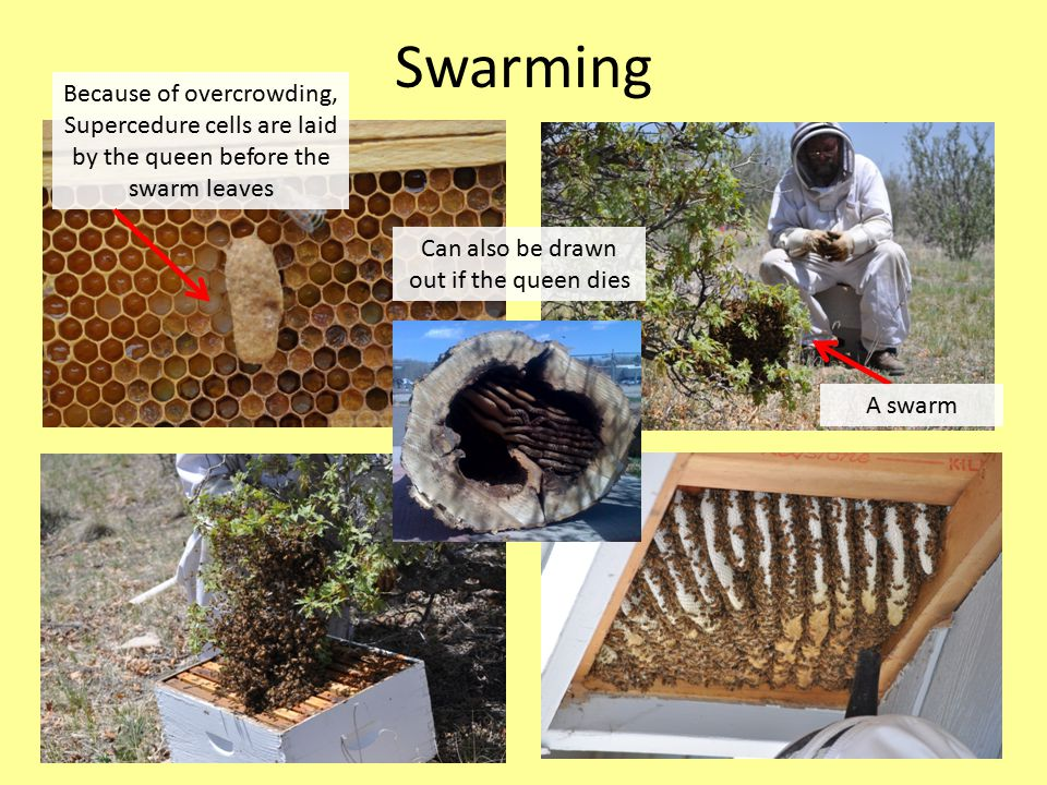 Swarming A swarm Because of overcrowding, Supercedure cells are laid by the queen before the swarm leaves Can also be drawn out if the queen dies