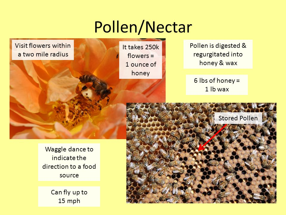 Pollen/Nectar Pollen is digested & regurgitated into honey & wax 6 lbs of honey = 1 lb wax Visit flowers within a two mile radius It takes 250k flowers = 1 ounce of honey Waggle dance to indicate the direction to a food source Stored Pollen Can fly up to 15 mph