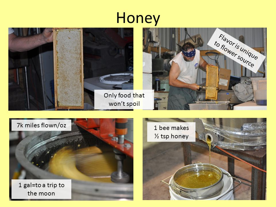 Honey Flavor is unique to flower source 1 gal=to a trip to the moon 7k miles flown/oz 1 bee makes ½ tsp honey Only food that won't spoil