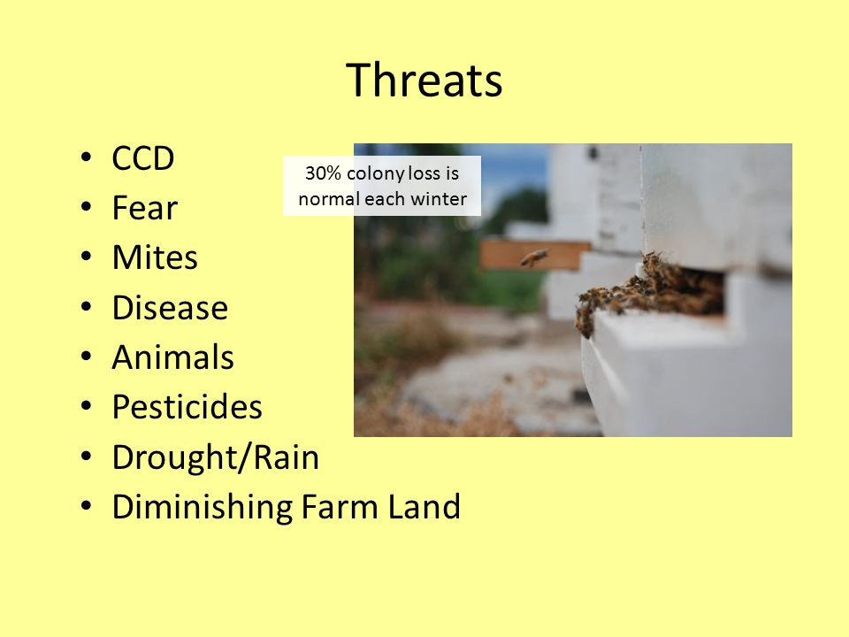 Threats CCD Fear Mites Disease Animals Pesticides Drought/Rain Diminishing Farm Land 30% colony loss is normal each winter