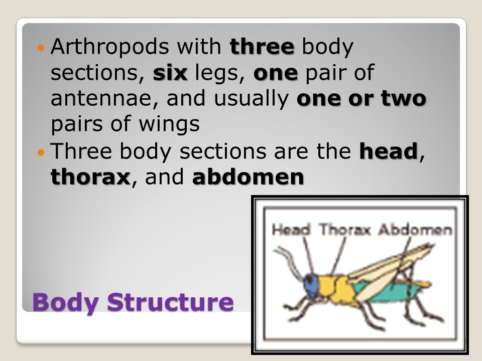 Body Structure three sixone one or two Arthropods with three body sections, six legs, one pair of antennae, and usually one or two pairs of wings head thoraxabdomen Three body sections are the head, thorax, and abdomen