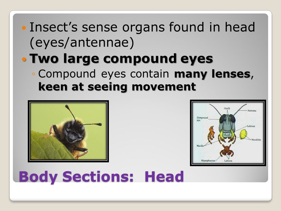 Body Sections: Head Insect's sense organs found in head (eyes/antennae) Two large compound eyes Two large compound eyes many lenses keen at seeing movement ◦Compound eyes contain many lenses, keen at seeing movement