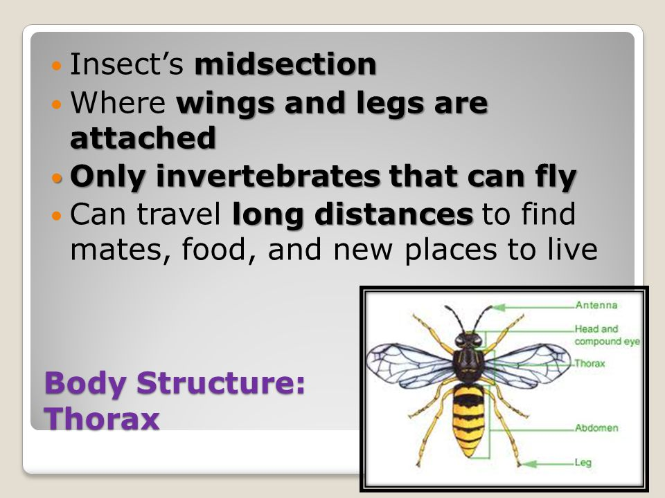 Body Structure: Thorax midsection Insect's midsection wings and legs are attached Where wings and legs are attached Only invertebrates that can fly Only invertebrates that can fly long distances Can travel long distances to find mates, food, and new places to live