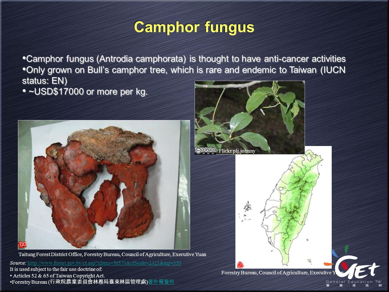 Forestry Bureau, Council of Agriculture, Executive Yuan Camphor fungus Camphor fungus (Antrodia camphorata) is thought to have anti-cancer activities