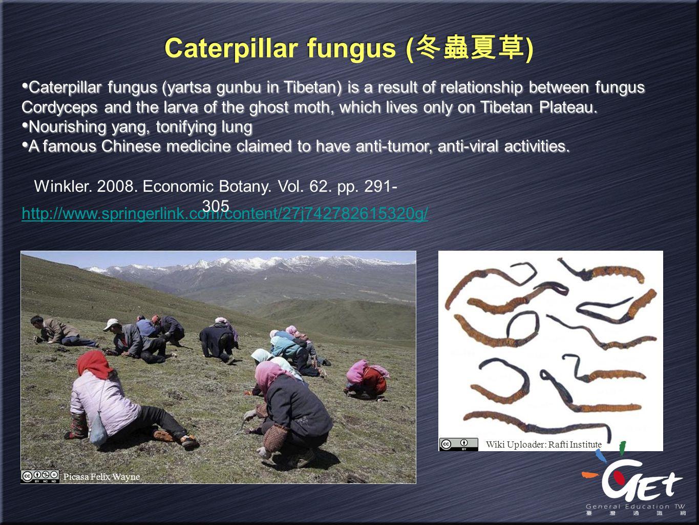 Caterpillar fungus ( 冬蟲夏草 ) Caterpillar fungus (yartsa gunbu in Tibetan) is a result of relationship between fungus Cordyceps and the larva of the gho