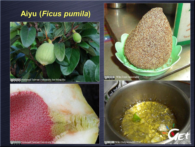 Aiyu (Ficus pumila) National Taiwan University Jer-Ming Hu Wiki User: takoradee Wiki Onlymyself65536