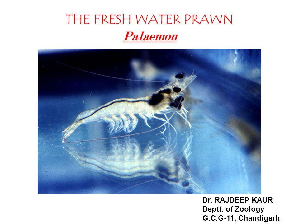 THE FRESH WATER PRAWN Palaemon Dr. RAJDEEP KAUR Deptt. of Zoology G.C.G-11, Chandigarh