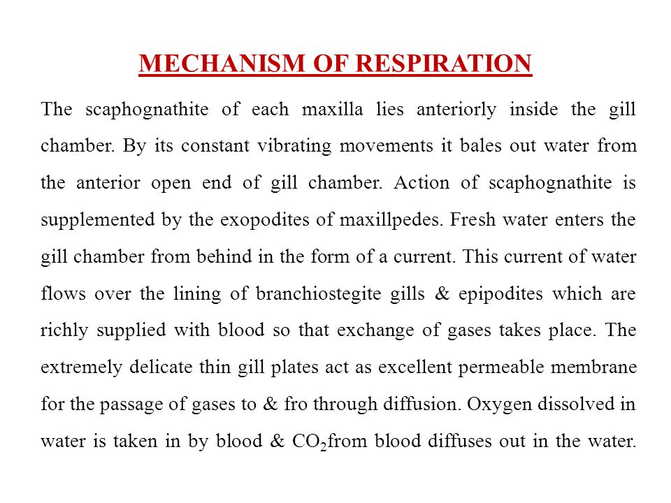 MECHANISM OF RESPIRATION The scaphognathite of each maxilla lies anteriorly inside the gill chamber. By its constant vibrating movements it bales out