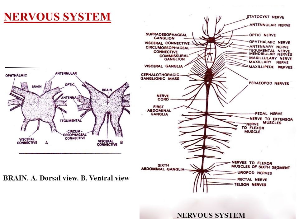 NERVOUS SYSTEM BRAIN. A. Dorsal view. B. Ventral view NERVOUS SYSTEM