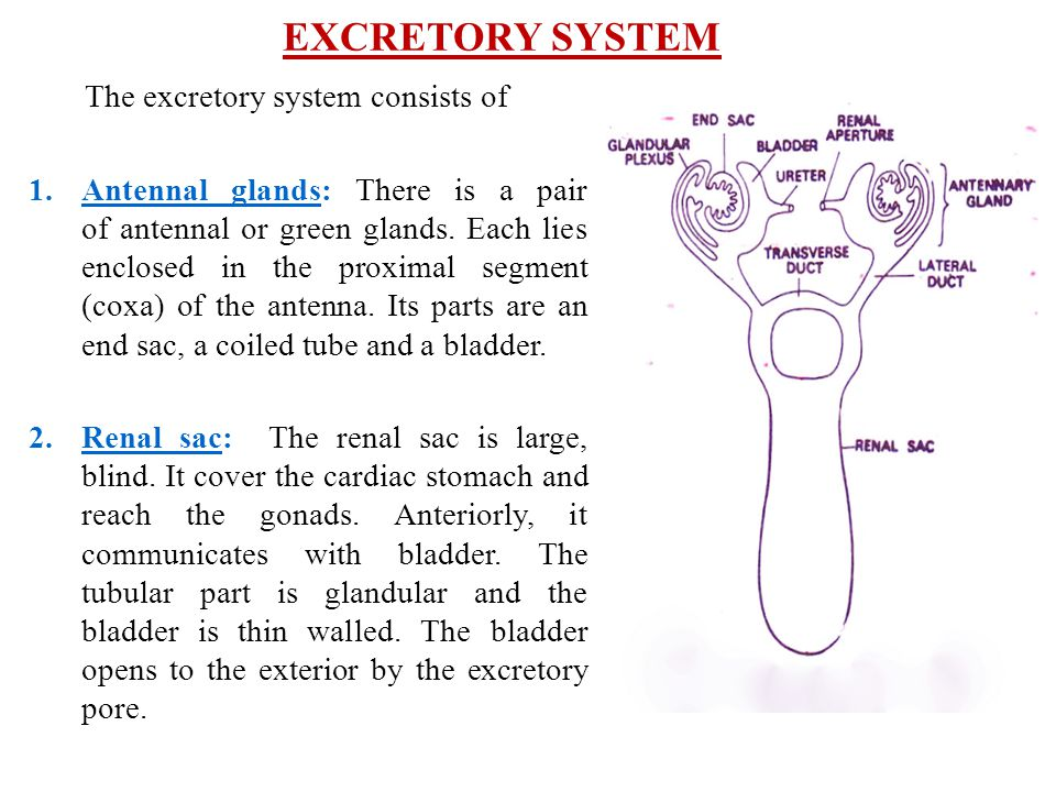 EXCRETORY SYSTEM The excretory system consists of 1.Antennal glands: There is a pair of antennal or green glands. Each lies enclosed in the proximal s