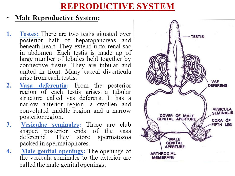REPRODUCTIVE SYSTEM Male Reproductive System: 1.Testes: There are two testis situated over posterior half of hepatopancreas and beneath heart. They ex