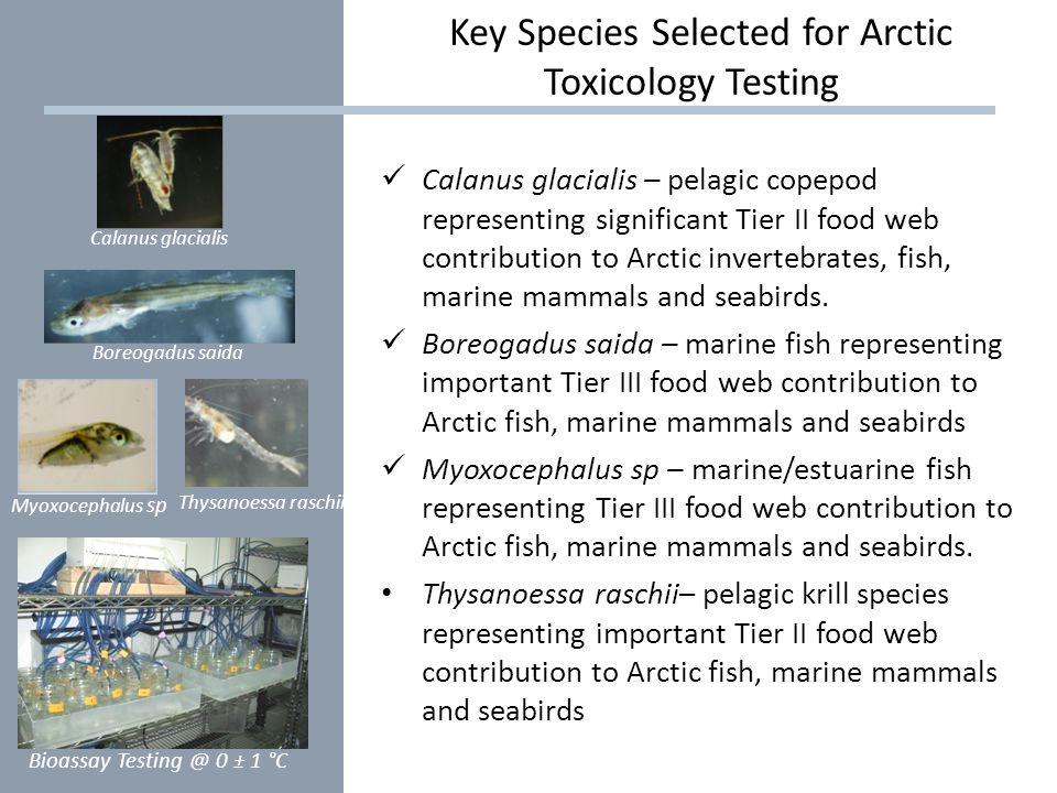 Calanus glacialis – pelagic copepod representing significant Tier II food web contribution to Arctic invertebrates, fish, marine mammals and seabirds.