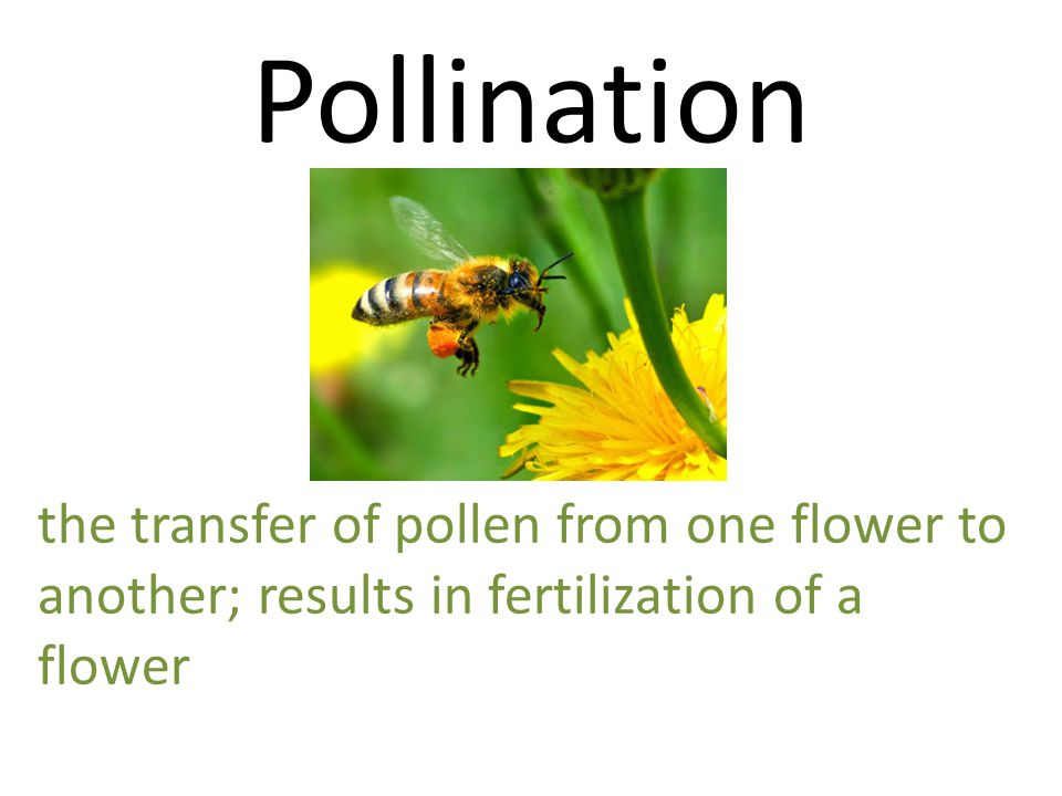 Pollination the transfer of pollen from one flower to another; results in fertilization of a flower