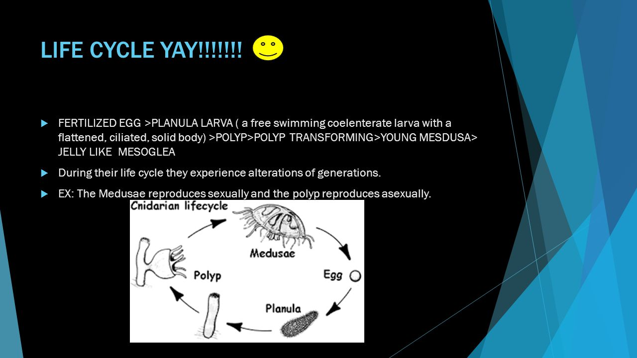 LIFE CYCLE YAY!!!!!!!  FERTILIZED EGG >PLANULA LARVA ( a free swimming coelenterate larva with a flattened, ciliated, solid body) >POLYP>POLYP TRANSF