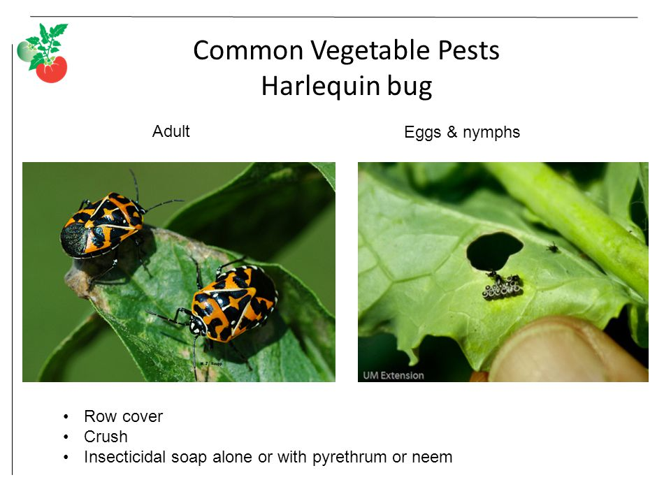 Common Vegetable Pests Harlequin bug Adult Eggs & nymphs Row cover Crush Insecticidal soap alone or with pyrethrum or neem