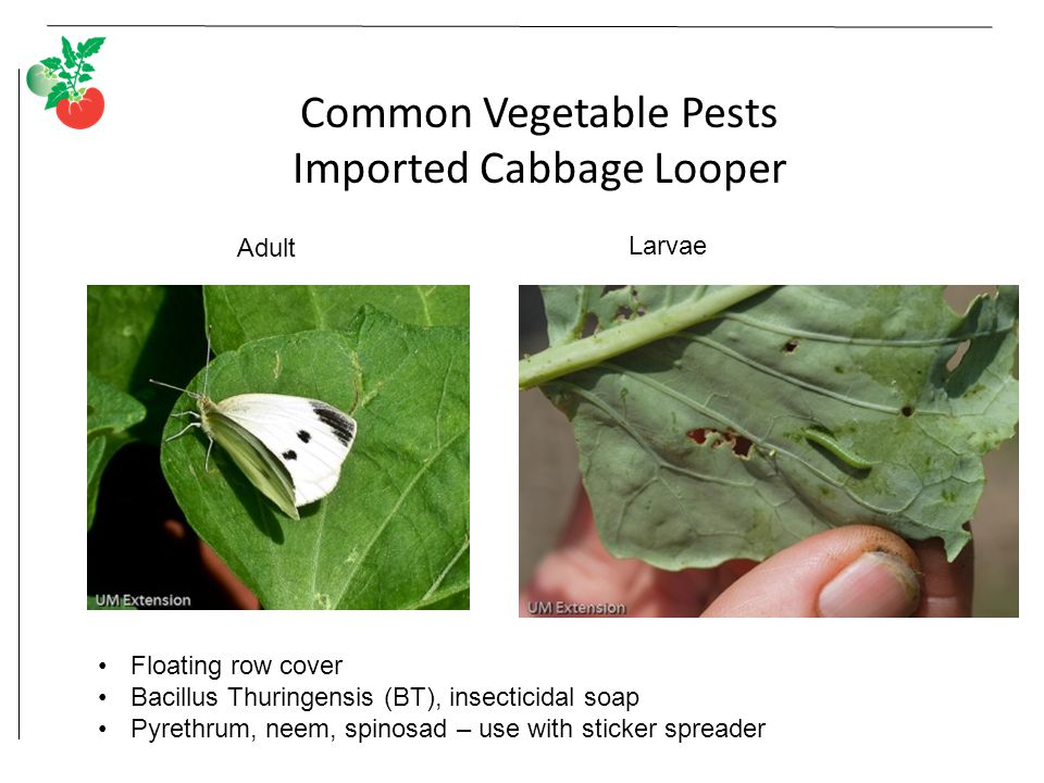 Common Vegetable Pests Imported Cabbage Looper Adult Larvae Floating row cover Bacillus Thuringensis (BT), insecticidal soap Pyrethrum, neem, spinosad – use with sticker spreader