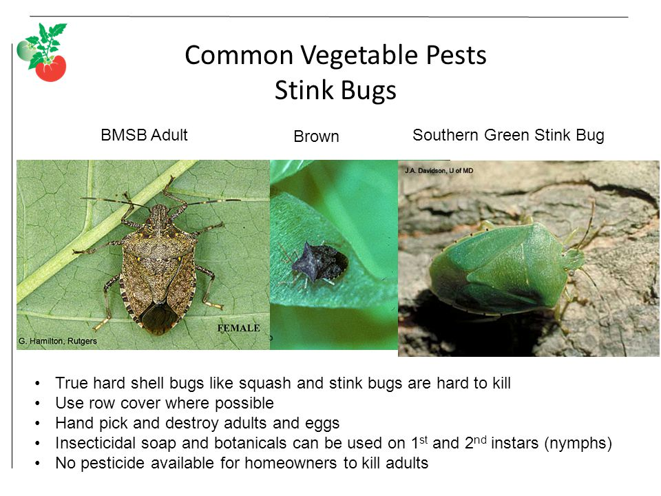 Common Vegetable Pests Stink Bugs BMSB AdultSouthern Green Stink Bug Brown True hard shell bugs like squash and stink bugs are hard to kill Use row cover where possible Hand pick and destroy adults and eggs Insecticidal soap and botanicals can be used on 1 st and 2 nd instars (nymphs) No pesticide available for homeowners to kill adults