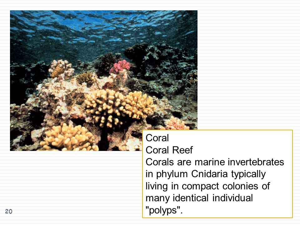20 Coral Coral Reef Corals are marine invertebrates in phylum Cnidaria typically living in compact colonies of many identical individual