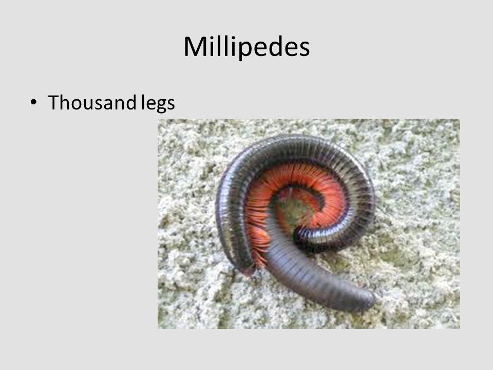 Millipedes Thousand legs