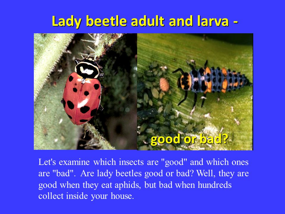 Lady beetle adult and larva - good or bad? Let's examine which insects are