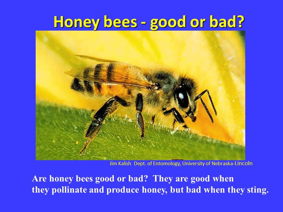 Jim Kalish Dept. of Entomology, University of Nebraska- Lincoln Honey bees - good or bad? Are honey bees good or bad? They are good when they pollinat