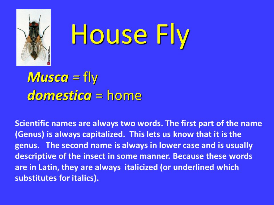 House Fly Musca = fly domestica = home Scientific names are always two words. The first part of the name (Genus) is always capitalized. This lets us k