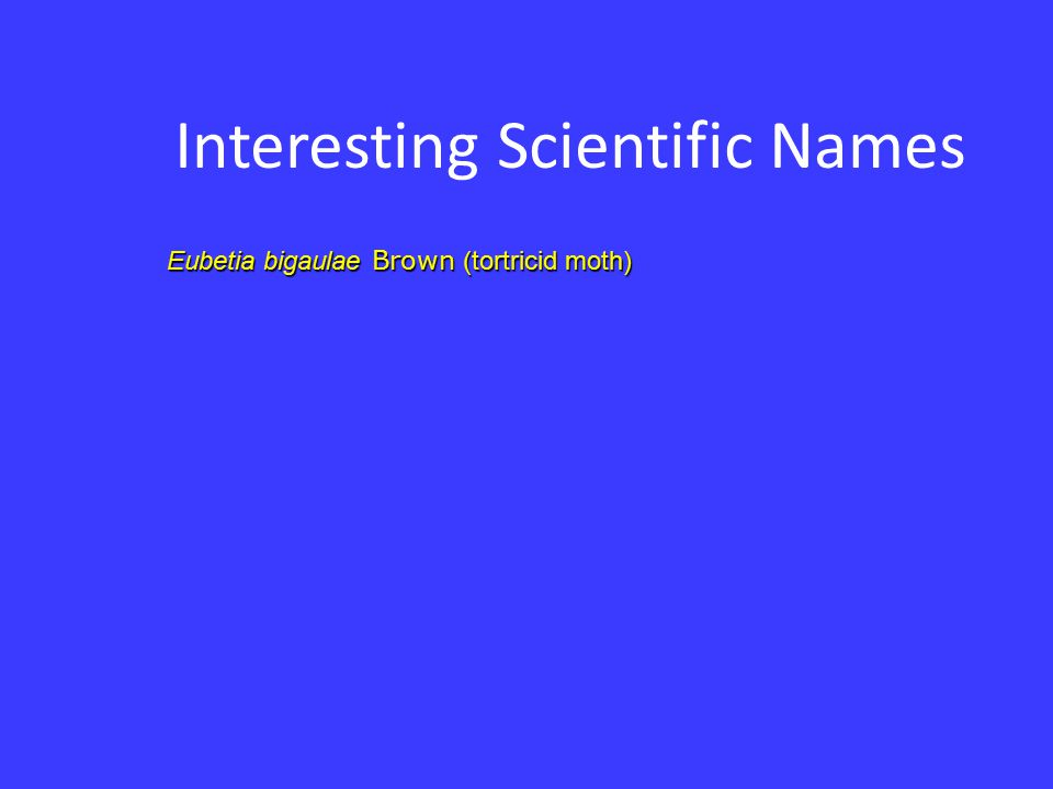 Interesting Scientific Names Eubetia bigaulae Brown (tortricid moth)